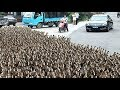 Download Video Download DUCK ARMY Videos Compilation || NEW 3GP MP4 FLV