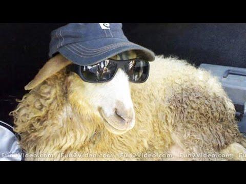 Funny SCREAMING Sheep [Funny Pets]