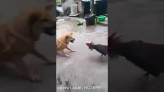 جنگ خروس لاری با سگ ...به این میگن خروس