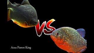 Piraña vs Pacu
