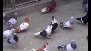 Toseef Hayat Pigeons D.I.Khan