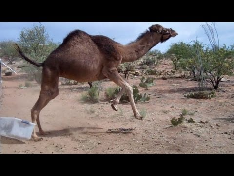 Xxx Mp4 Camel Vs Bin 3gp Sex