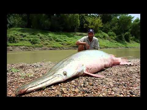World Record Alligator Gar Top 10 Monster Aligator Gar