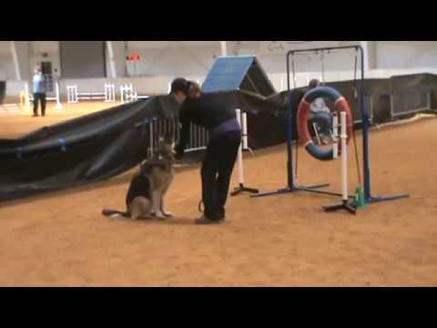 German Shepherd Gabi running agility