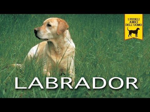 LABRADOR RETRIEVER trailer documentario