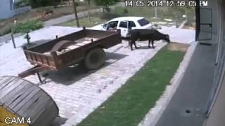 Thieves Stealing a cow in a Small Car