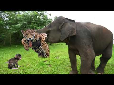 Elephant Of The God Power Of Mother Animals Wildebeest Protect Newborn From Cheetah Hunting
