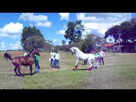 Arabian horse Haras Engenho Brazil Hylan