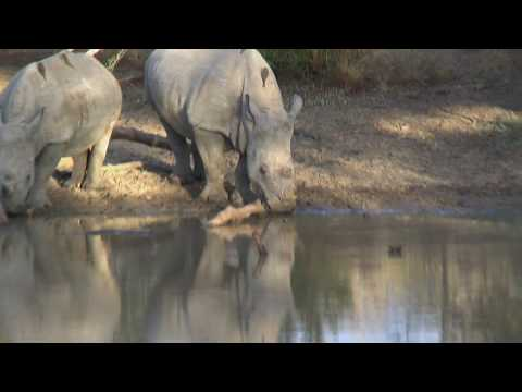 Xxx Mp4 GSC 0790 A Pair Of Rhinos Shawn Silmiya Hendricks 3gp Sex
