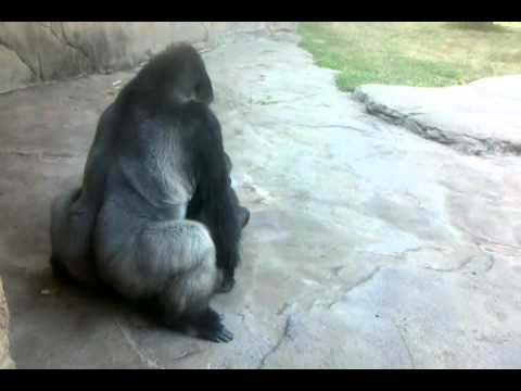 Gorillas making a SEXY TIME MUST SEE