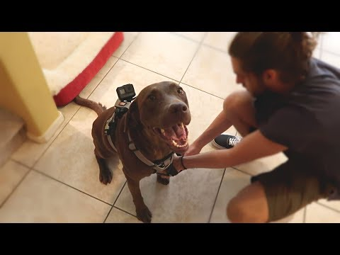GoPro on Chocolate Labrador Left Home Alone