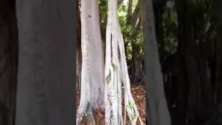 Banyan Tree Ntoo Vaj Khaum