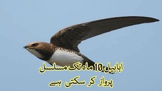 Swallow Ababil can fly ten month continuously   Urdu & Hindi Information