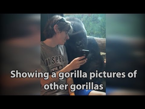 He showed a gorilla photos of other gorillas on his phone. Watch the gorilla s reaction ORIGINAL