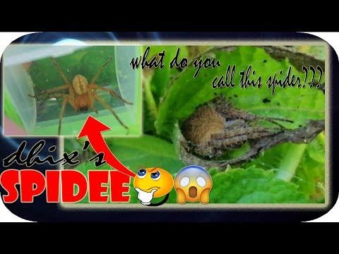AKALA KO CRAB SPIDER YUN!!! ANO SA TINGIN NYO MGA BAYAW??