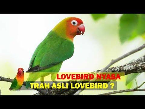 Burung Lovebird Liliana Nyasa (Agrapornis Lilianae), Trah ASLI Burung Lovebird ?