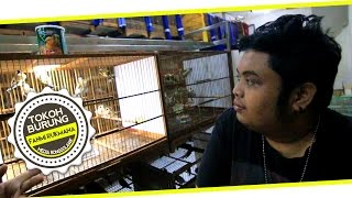 Bird Market : Belajar Pilih Goldfinch Bersama Fahmi Rukmana Di Tjm Bird Shop Download Mp3 Mp4 3GP HD Video
