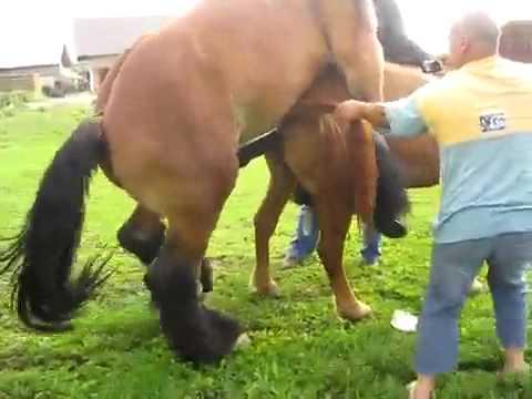 Horses mating
