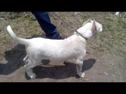 CACHORRO CRUZA DE DOGO ARGENTINO CON PITBULL