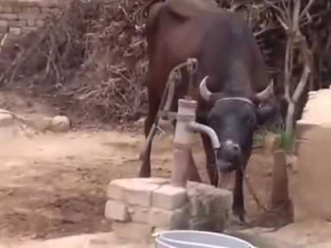 Clever Indian  Cow