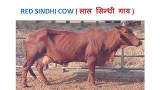 Dairy Farming | Red Sindhi Cow - लाल सिन्धी गाय की विशेषताएं