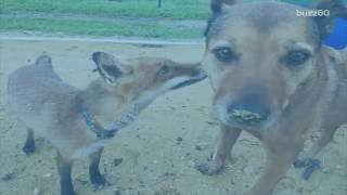 Orphaned Fox is Best Friends with New Dog Mom