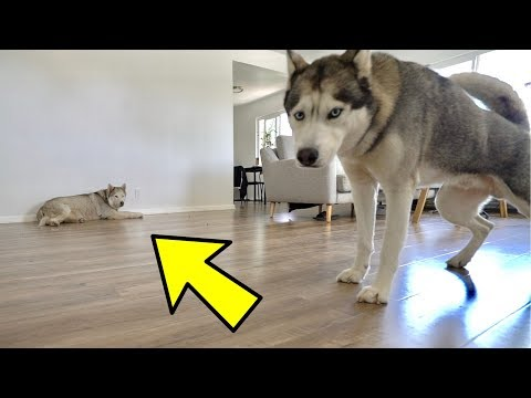 Left My Husky Home ALONE With Another Husky