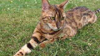 Its too hot, the Bengal won't play