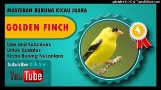 Masteran Burung Goldfinch Durasi Panjang Download Mp3 Mp4 3GP HD Video