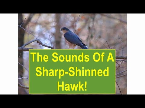 The Sounds of a Sharp-Shinned Hawk -- 3/7/2016
