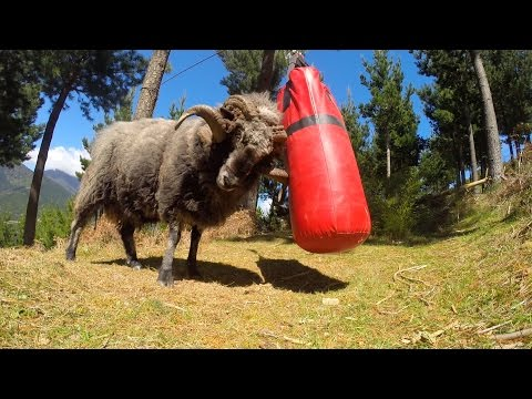 Xxx Mp4 Angry Ram Destroys A Punching Bag 3gp Sex