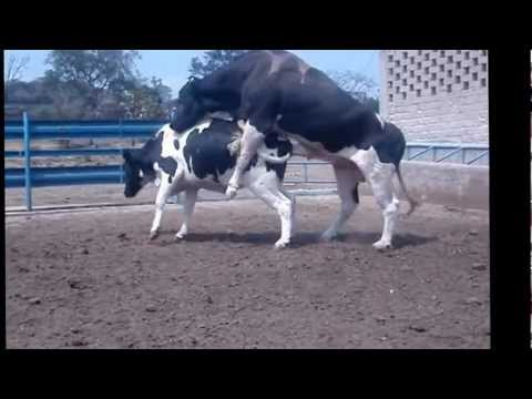 inseminación artificial de bovinos Y monta directa