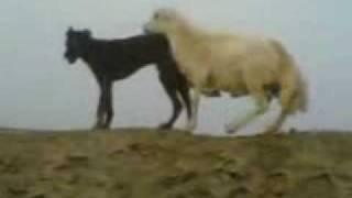 كبش يجامع كلب