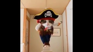 funny cat | cat doing funny things | Pirate Cat 2016