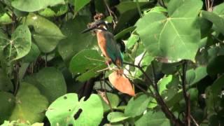 東港嘉蓮濕地公園的翠鳥(20121016)