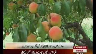peaches in swat valley pakistan sherin zada express news swat.flv