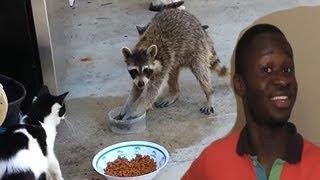 Gangster Raccoon