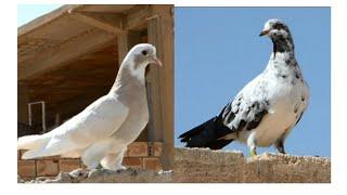 takla roller pigeon vs oriental roller pigeon KLD-DZ 2018
