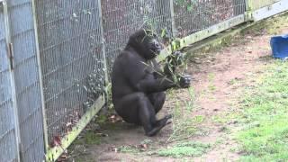 Junger Gorilla Gasira im Zoo Köln