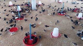 দেশি মুরগির বাচ্ছা দিয়ে খামার যেভাবে শুরু করবেন । deshi murgir farm । deshi murgi