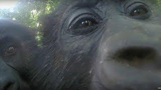 Gorillas React To Their Reflection - Gorilla Family and Me - BBC Earth