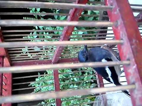 Burung kacer termahal di dunia