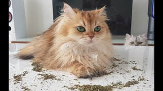 WHAT DOES CATNIP DO? - Getting High With Smoothie The Cat