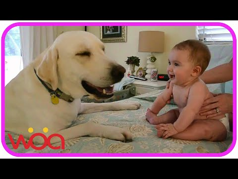Baby Laughing at Labrador Dog because they are best friends Dog loves Baby Compilation