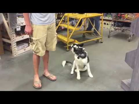 Xxx Mp4 5 Month Old Husky Roxy Before After Video Best Georgia Dog Trainers 3gp Sex