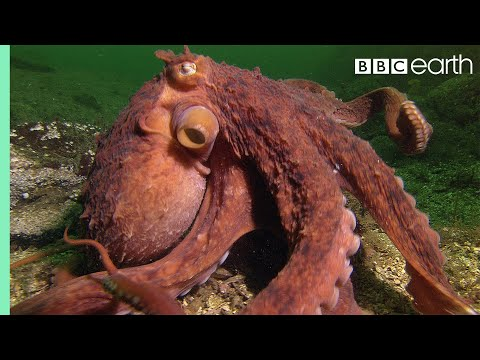 Octopus Steals Crab From Fisherman Super Smart Animals BBC Earth