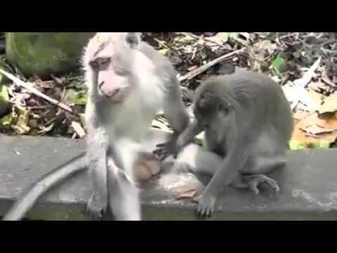 Monyet main kote