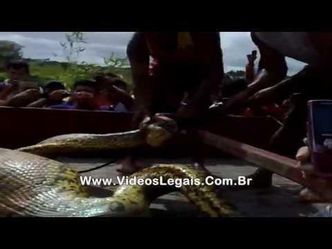 Bombeiros capturam sucuri suspeita de engolir gente no Pará