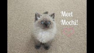 Cute Persian Kitten Playing! | Meet Mochi | My New Cat!
