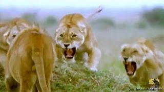 Lioness Rules Works!  Best Lions Documentary Ever
